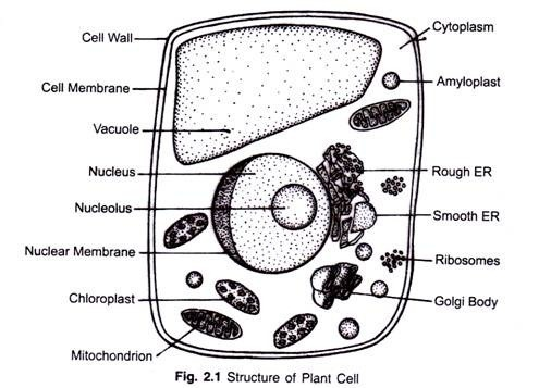 Draw a plant cell and name seven important organelles ...