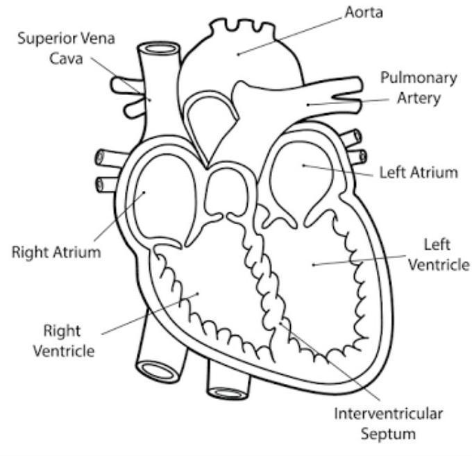 Draw A Well Labeled Diagram Of Human Heart Brainly In