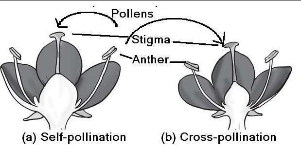 Diagram Of Self And Cross Pollination Brainly