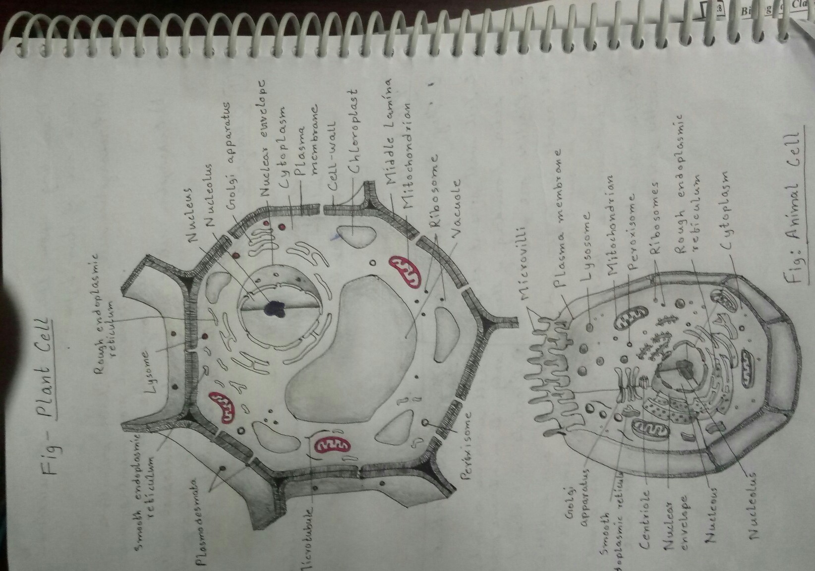 Draw A Neat Diagram Of A Plant Cell And Label The Following Parts