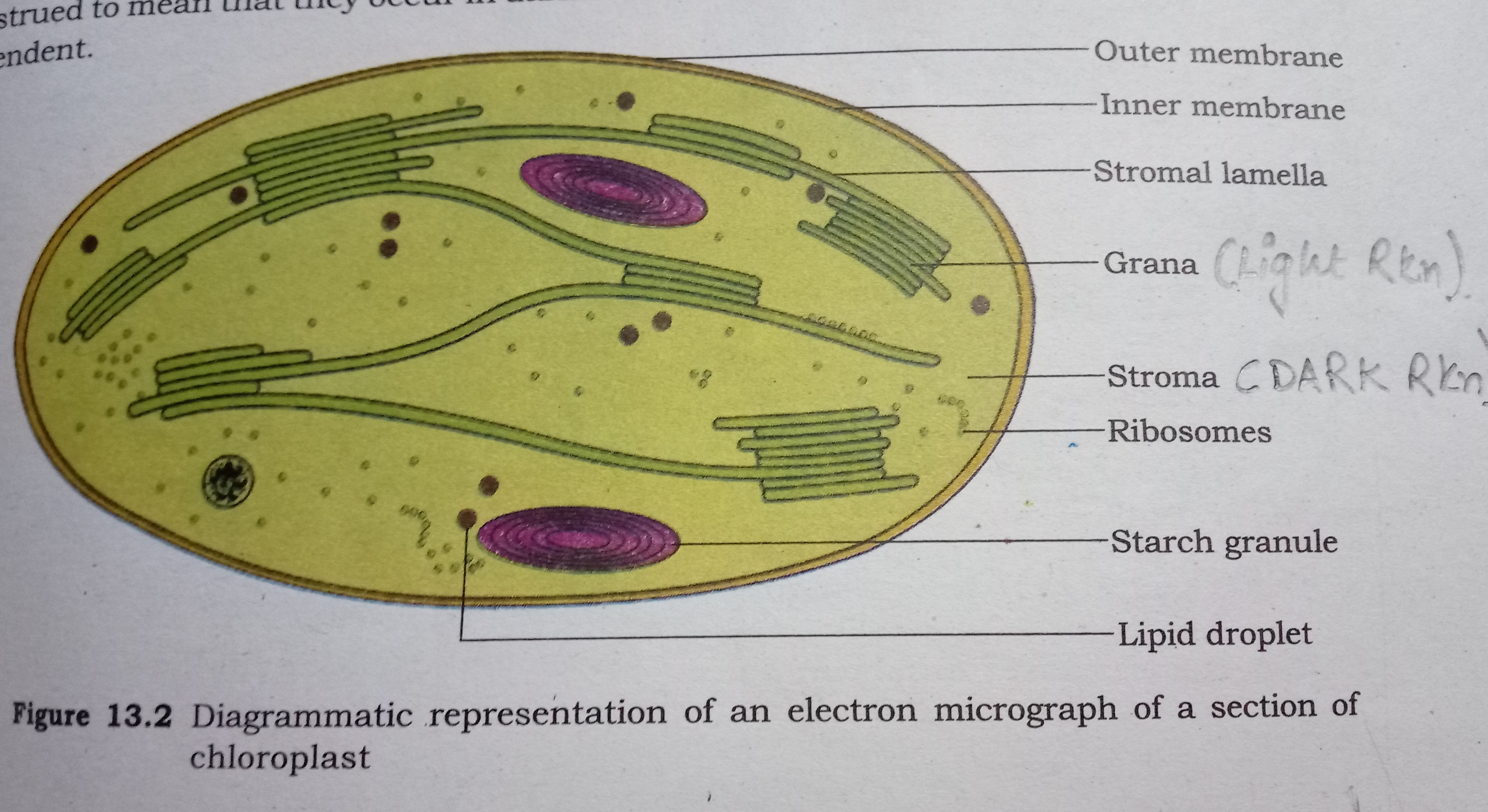 How Are Well Labeled Diagram Of A Sectional View Of Chloroplast And