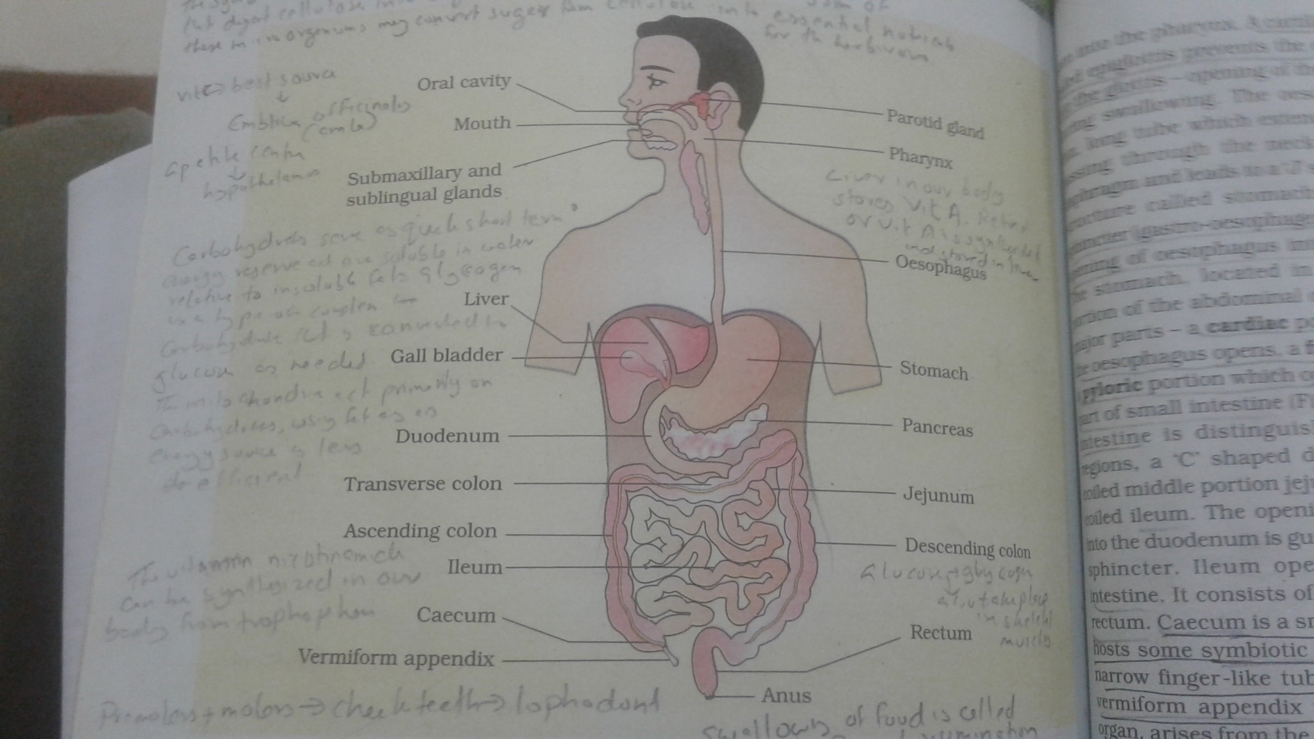 Draw A Diagram Of Human Alimentary Canal Showing Duodenum Small