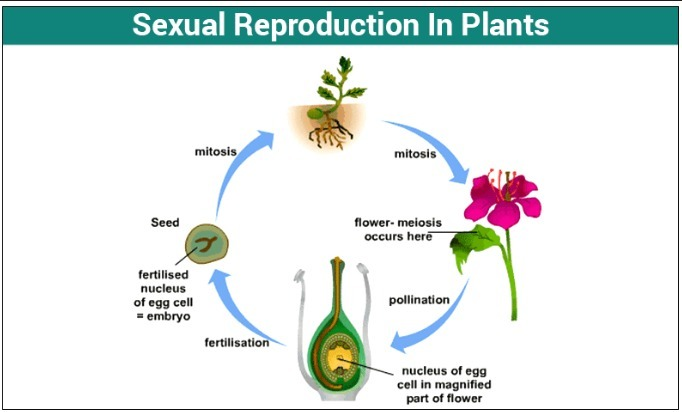 explain with the digram sexual reproduction in flowering ...