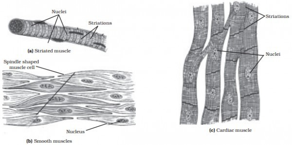 draw a diagram of striated unstriated cardiac muscular