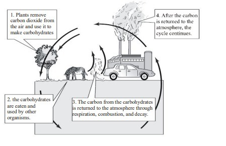 The Diagram Below Shows The Basic Steps Of The Carbon Cycle At