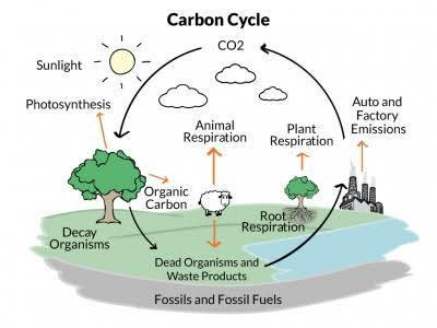 diagram of carbon cycle. Black Bedroom Furniture Sets. Home Design Ideas