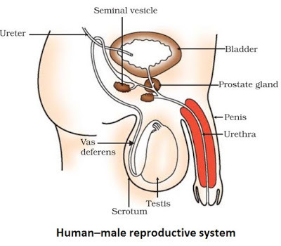 Easy Steps to Draw Human Male Reproductive System [Class 10 NCERT ...