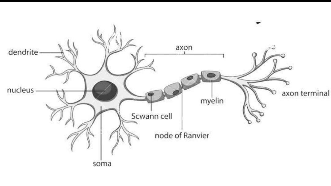 With a neat labelled diagram explain the structure of a ...
