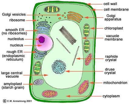 Describe the plant cell with labelled diagram brainly download jpg ccuart