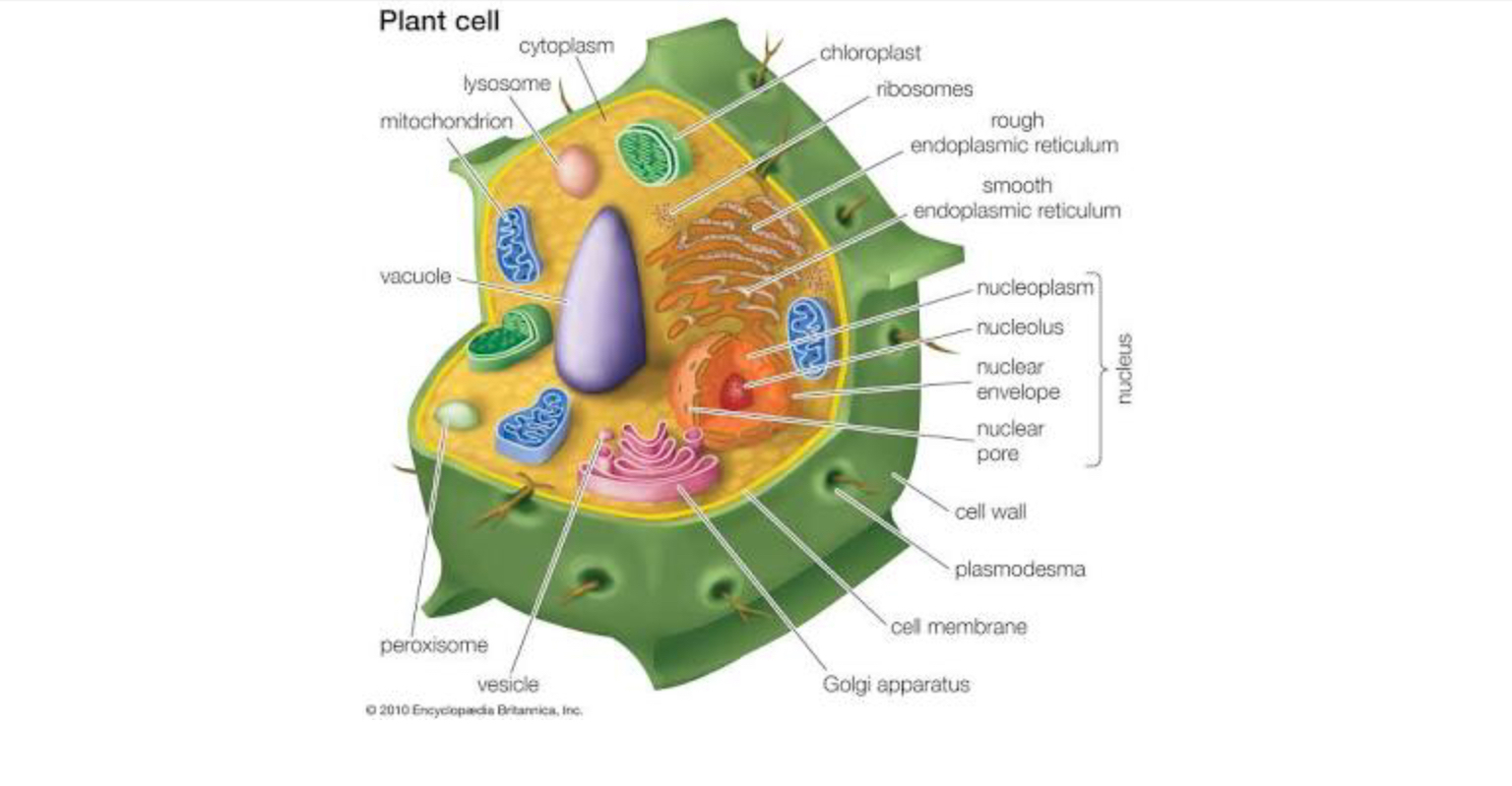 diagram of cell organelles name best wiring librarydiagram of cell organelles name