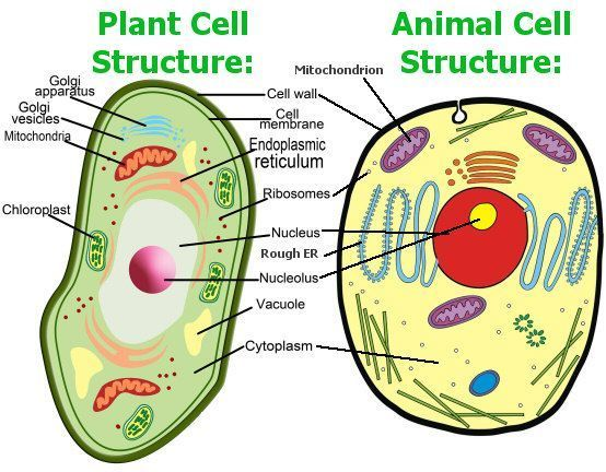 animal and plant cell diagram - Brainly.in