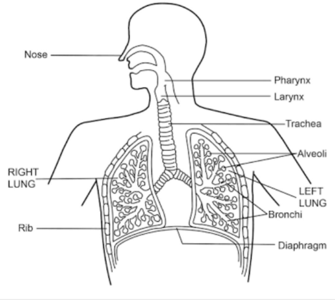 draw a diagram of respiratory system label the parts ...