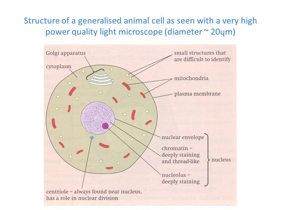 Q14 draw a large diagram of an animal cell as seen through an download jpg ccuart Choice Image