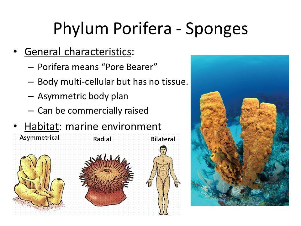Why Does The Sponges In Phylum Porifera Brainly