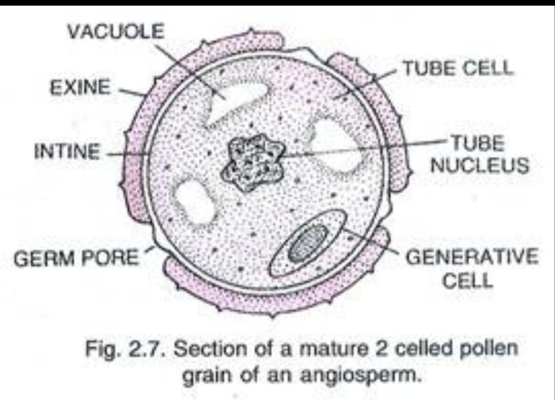 Structure Of Pollen Grain And The Process Of Its