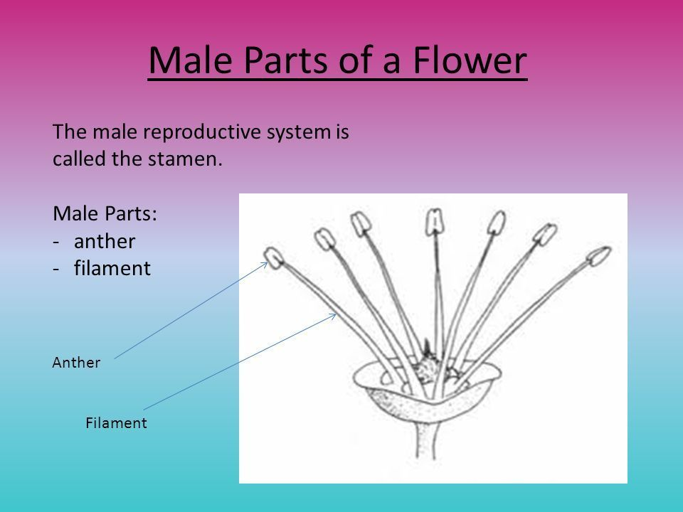 the female reproductive part of a flower is called
