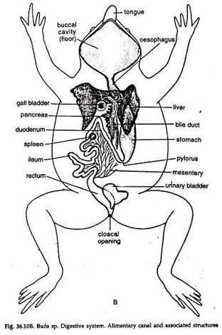 Question 13 draw a neat diagram of digestive system of frog class the diagram shows the digestive system of frog with labelling of parts ccuart Images