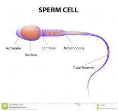 draw the diagram of smooth muscle cell and a sperm … - brainly.in, Muscles