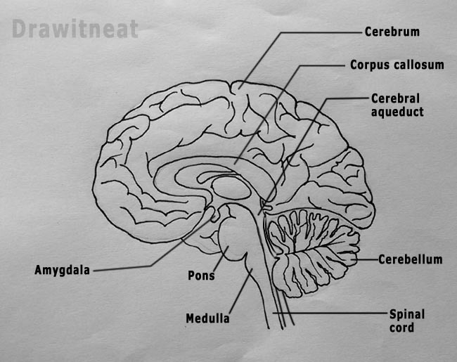 diagram of sagittal section of human brain - Brainly.in