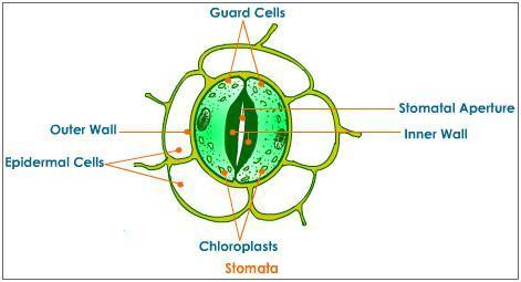 Draw The Diagram Of Stomata And Write The Names Of Cell Surrounding
