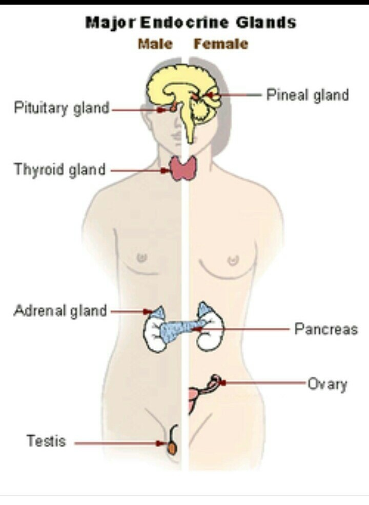Modern Endocrine Glands Function Pattern - Anatomy And Physiology ...