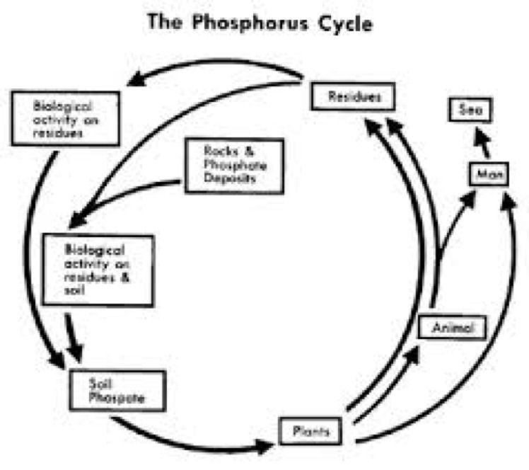 Draw On Copy Phosphorus Cycle Its Urgent Brainly