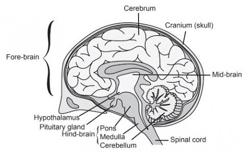 a i draw a neat diagram of human brain and ii label. Black Bedroom Furniture Sets. Home Design Ideas