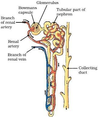 Easy Steps To Draw Nephron Class 10 Ncert Write Down Each Step