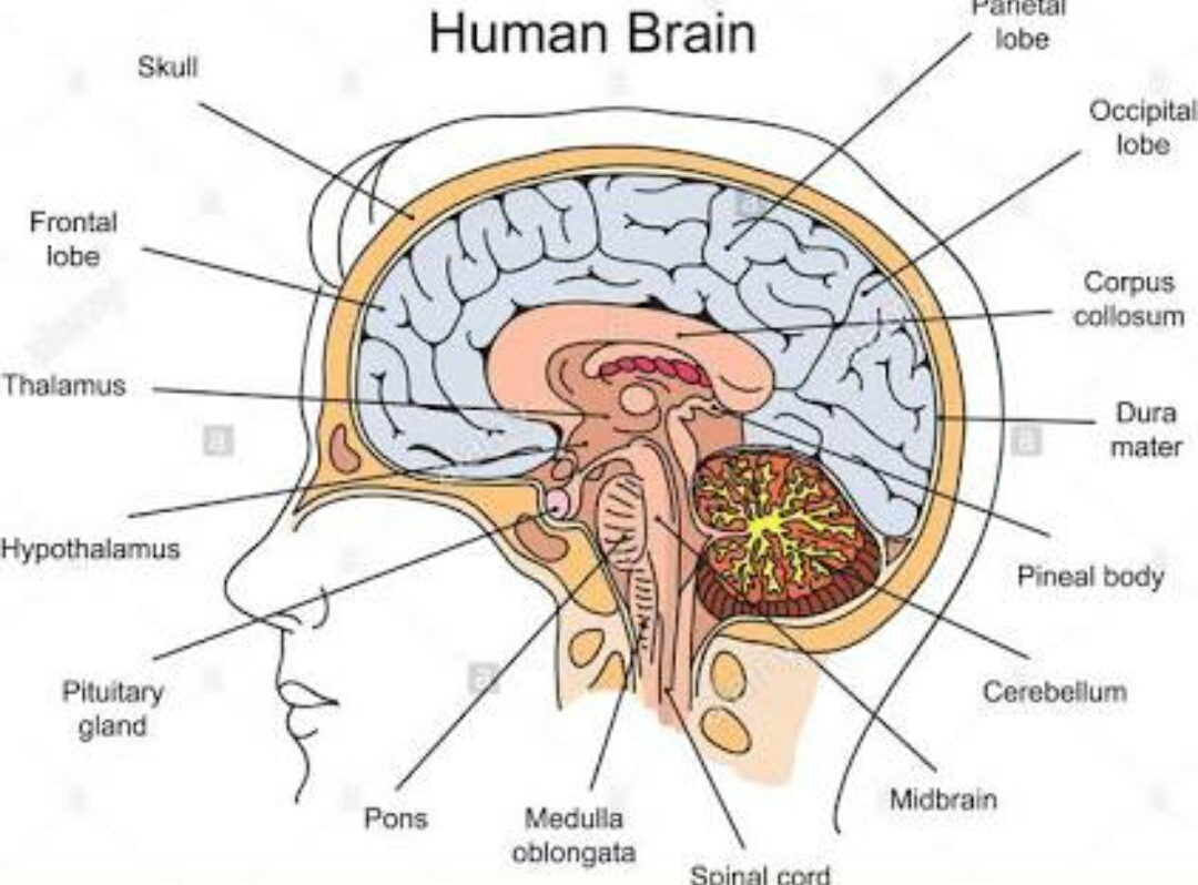 explain the structure human brain with a labelled diagram ...