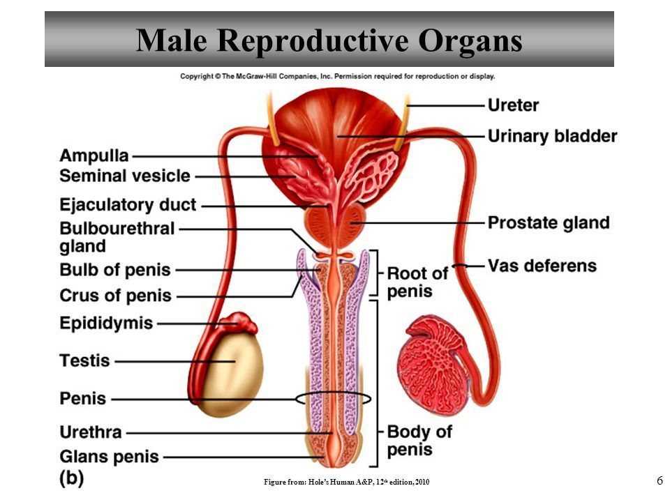 Which Gland Is Same In Male And Female Reproductive System Brainly
