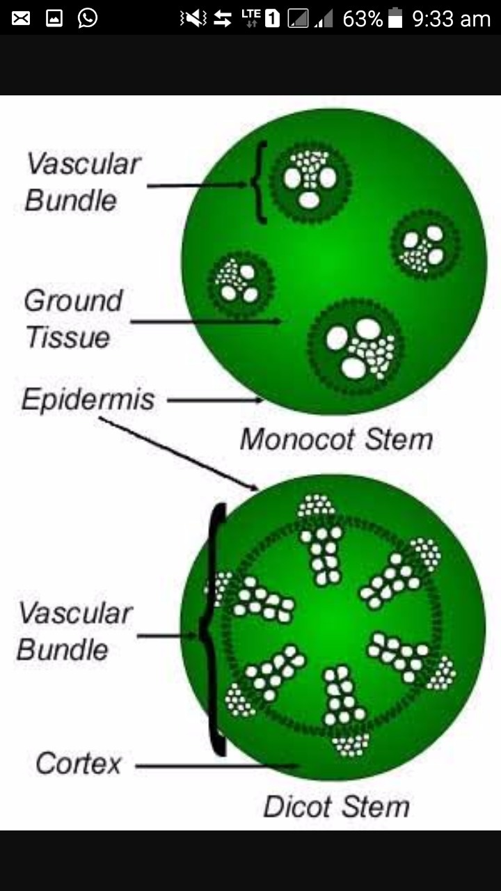 Make clear and labelled diagram of monocotyledons and dicotyledons the clear diagram of monocot and dicot seed pooptronica