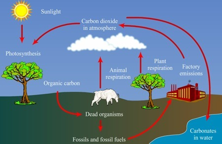 Draw a well label diagram of carbon cycle brainly download png ccuart Image collections