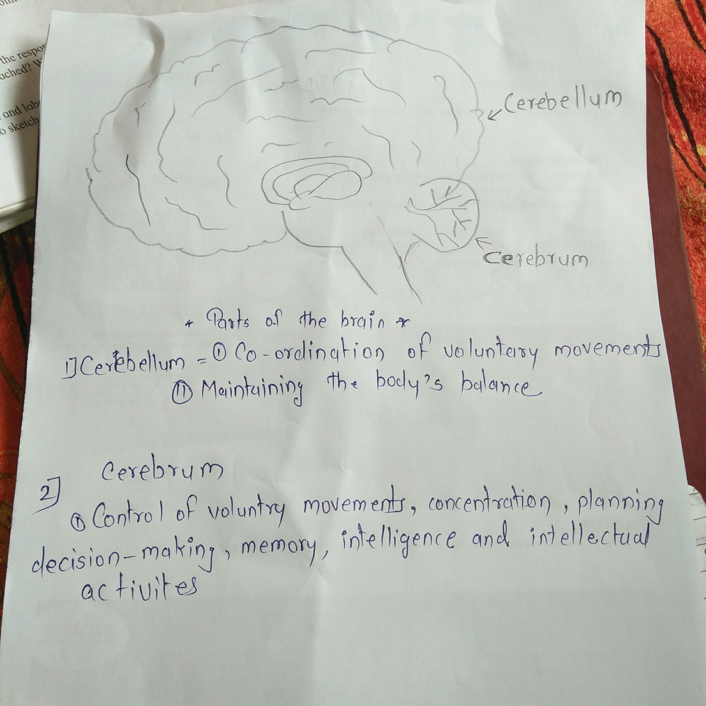 Draw A Diagram Of Human Brain Label On It Cerebrum And Cerebellum