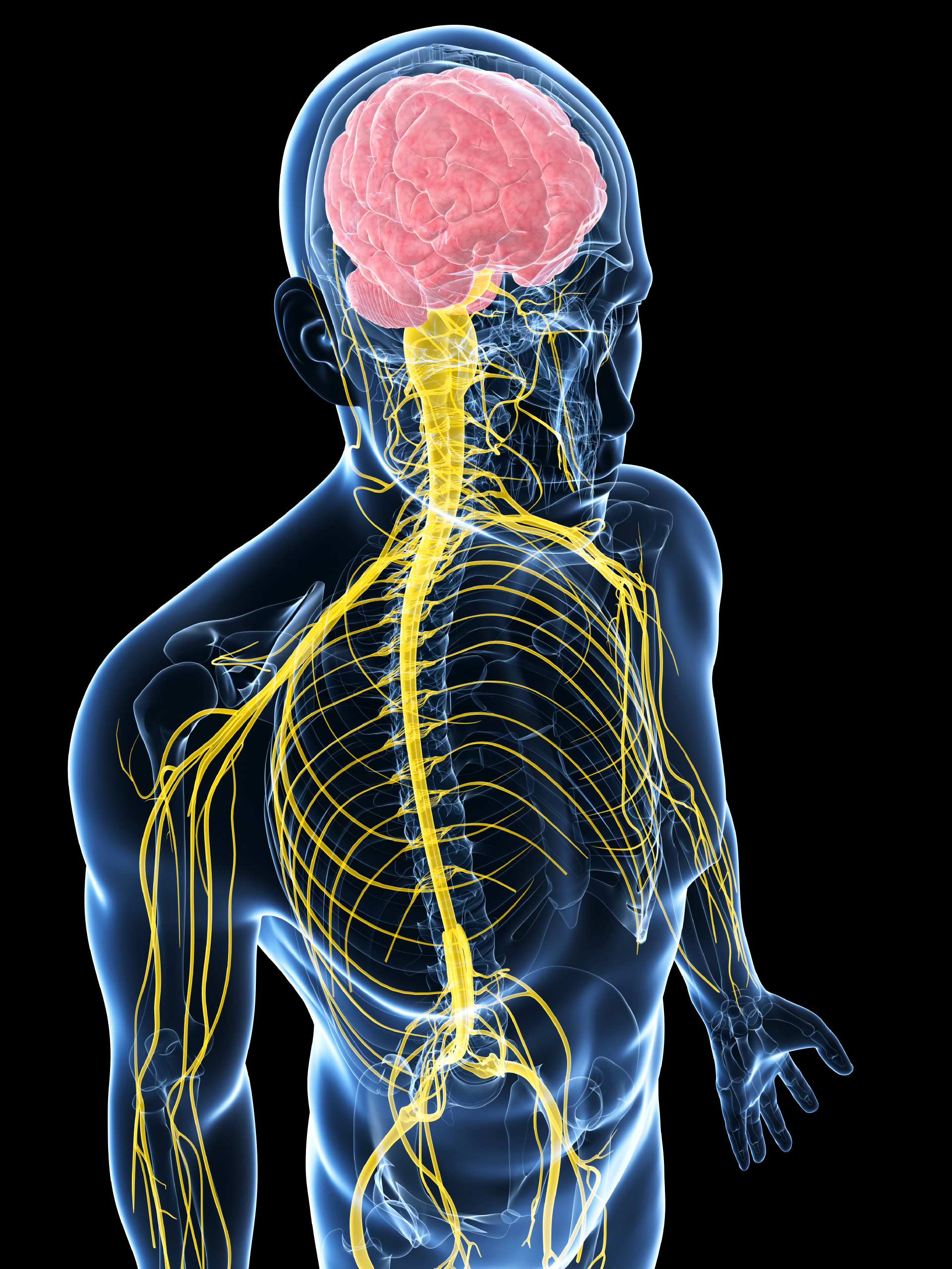 What are the three types of nervous system? How are they different ...