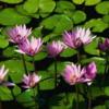 jhaSoniaflora
