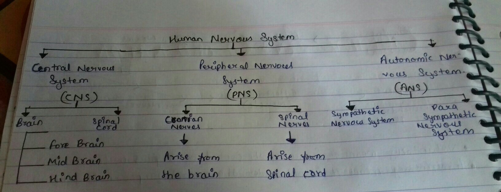 Draw A Flow Chart To Show The Classification Of Nervous System In To