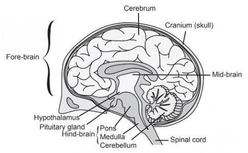 18 a) i) Draw a neat diagram of human brain and ii) Label ...