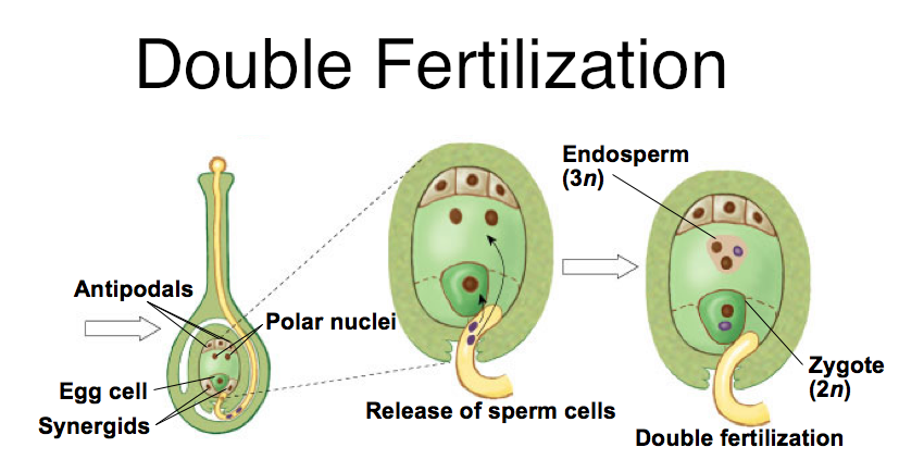 The arrangement of nuclei in a normal embryo sac in the ...
