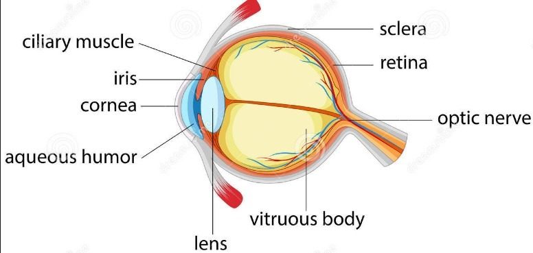 2 a draw a simple diagram of the human eye and label clearly the download png ccuart Gallery