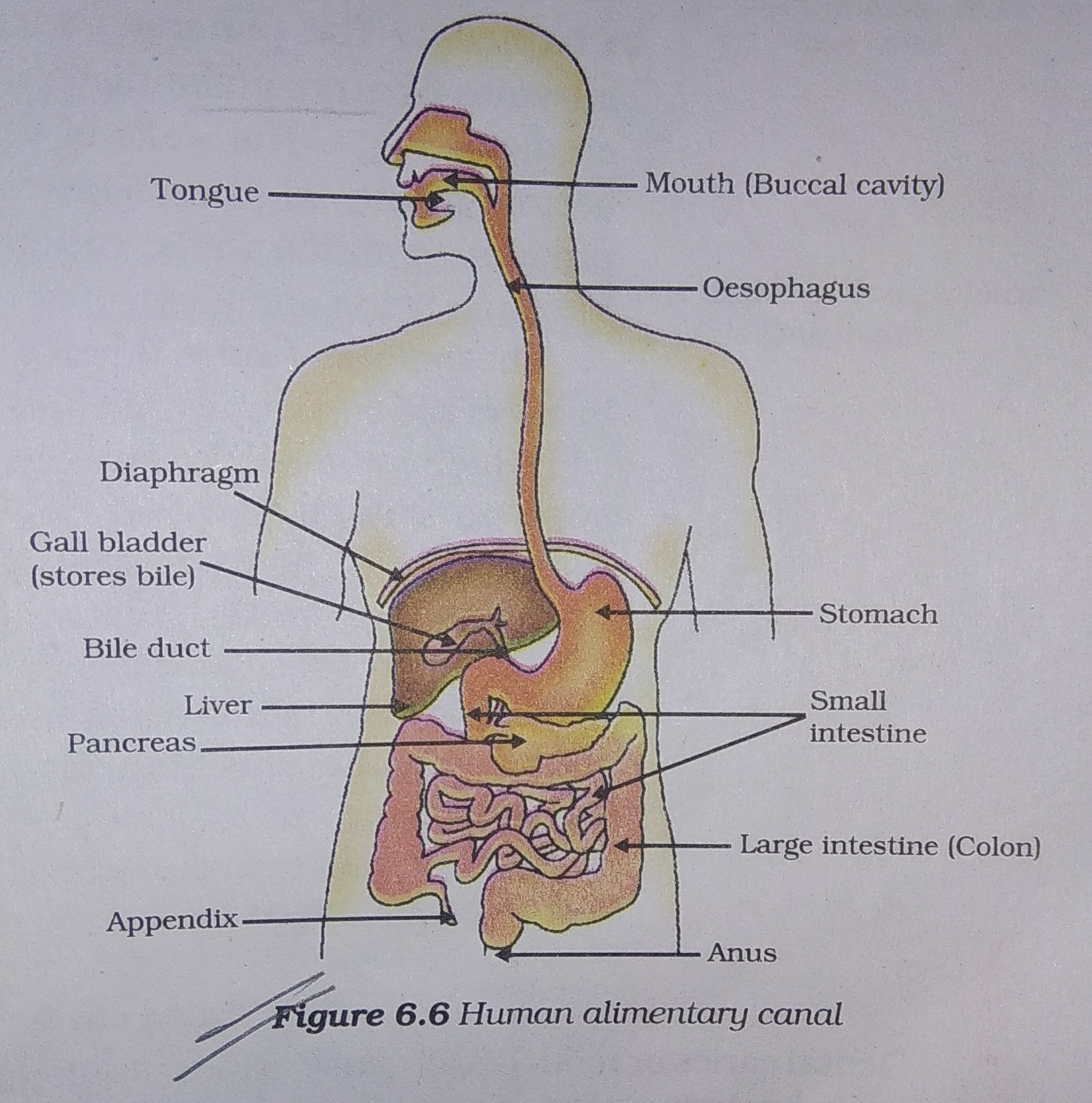 Draw A Well Labeled Diagram Of Human Alimentary Canal