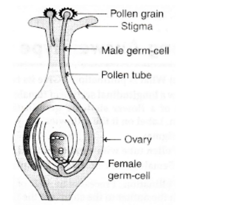 draw the diagram showing germination of pollen on stigma and labelFlower Diagram Grain #19
