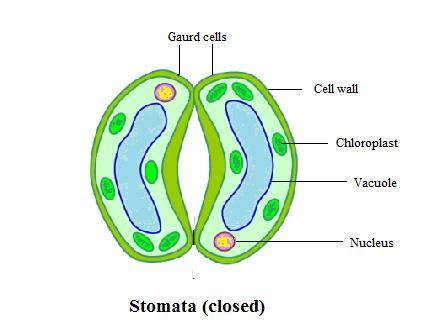Draw a neat labelled diagram of stomata write two functions