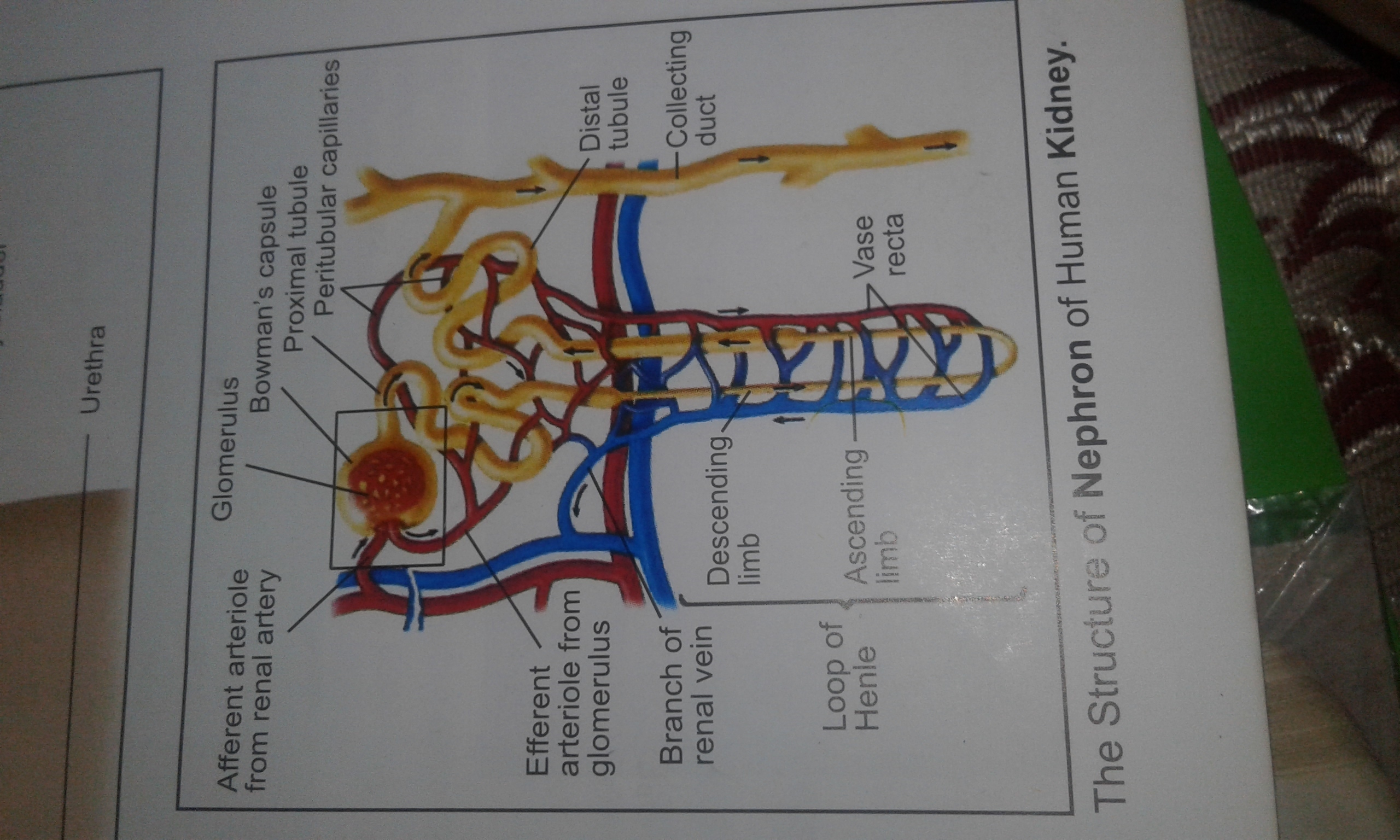 Explain in detail with diagram structure of nephron brainly download jpg ccuart Image collections