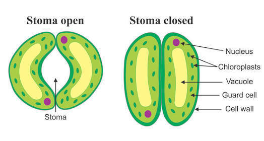 Explain Opening And Closing Of Stomata With The Help Of Labelled