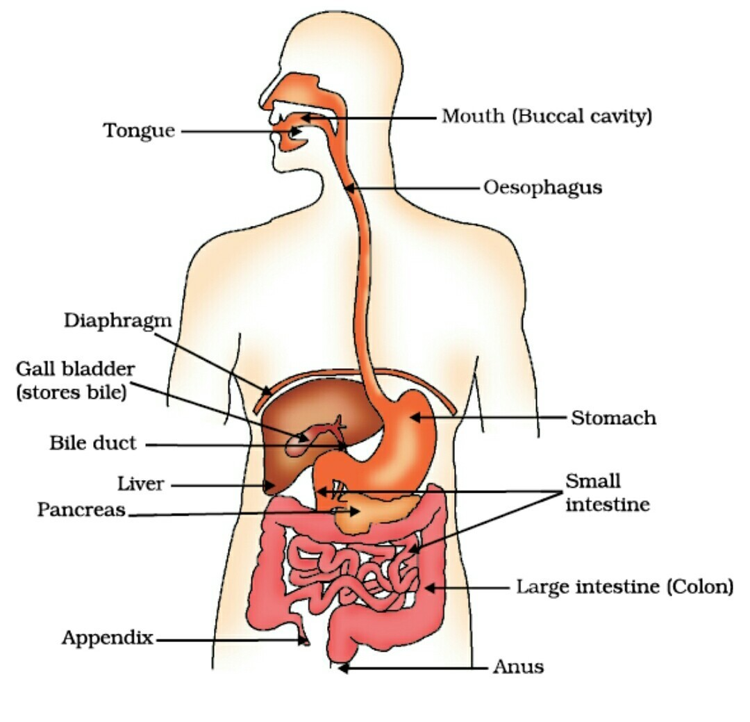 Easy Steps To Draw Human Digestive System Class 10 Ncert
