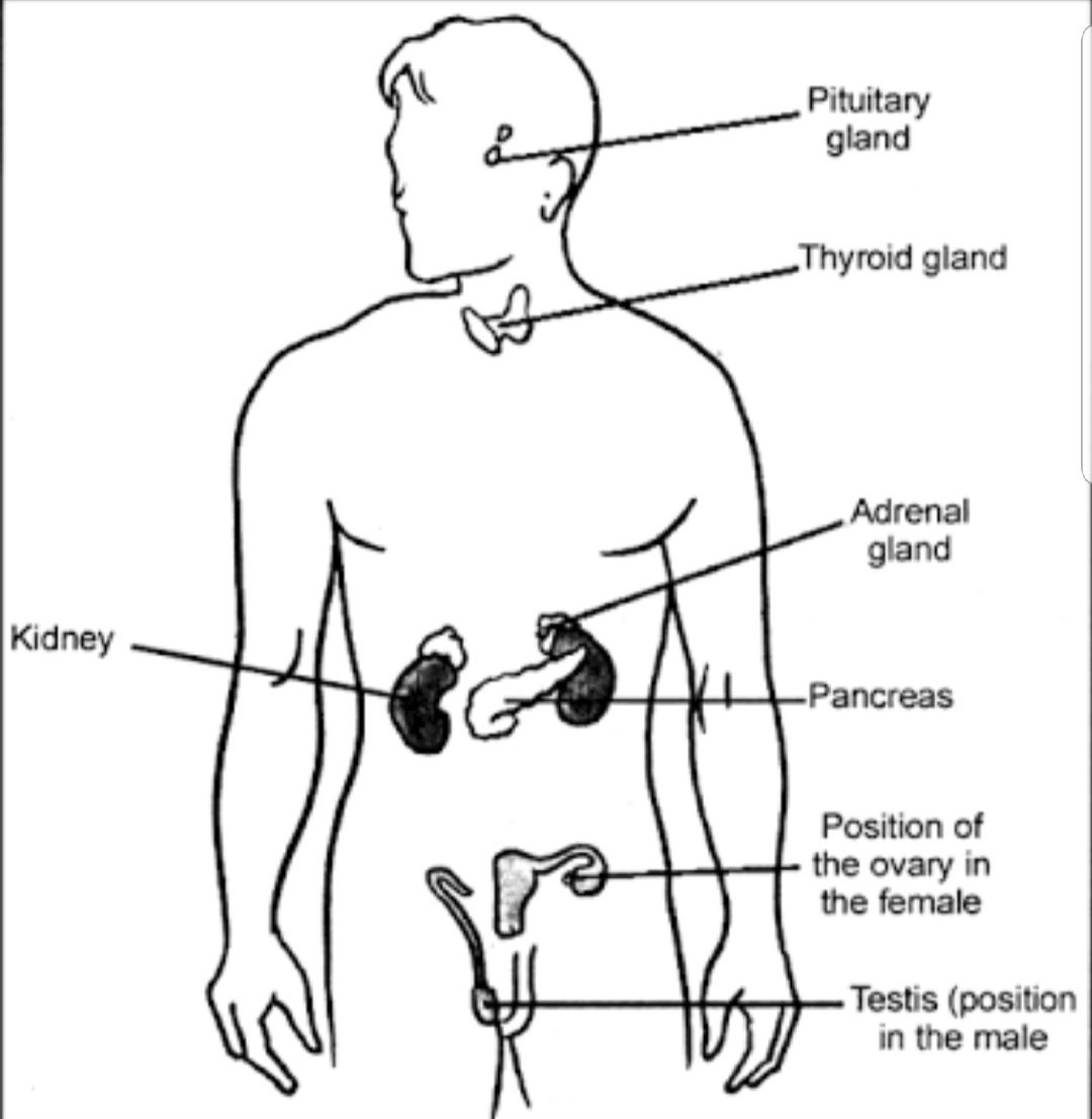 Draw A Diagram Showing Endocrine Glands In A Male Body Label The