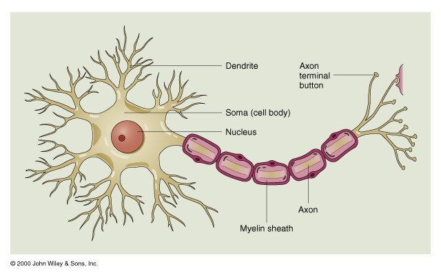 Draw a neatly labelled diagram of a neuron brainly download jpg ccuart Gallery