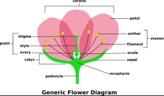 Labelled Diagram Of Flower Brainly
