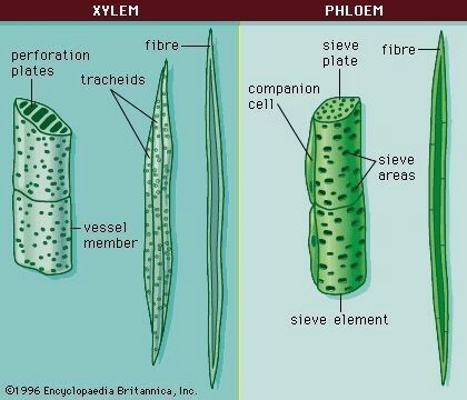 Labelled Diagram Of Xylem And Phloem Showing Its Components Brainly