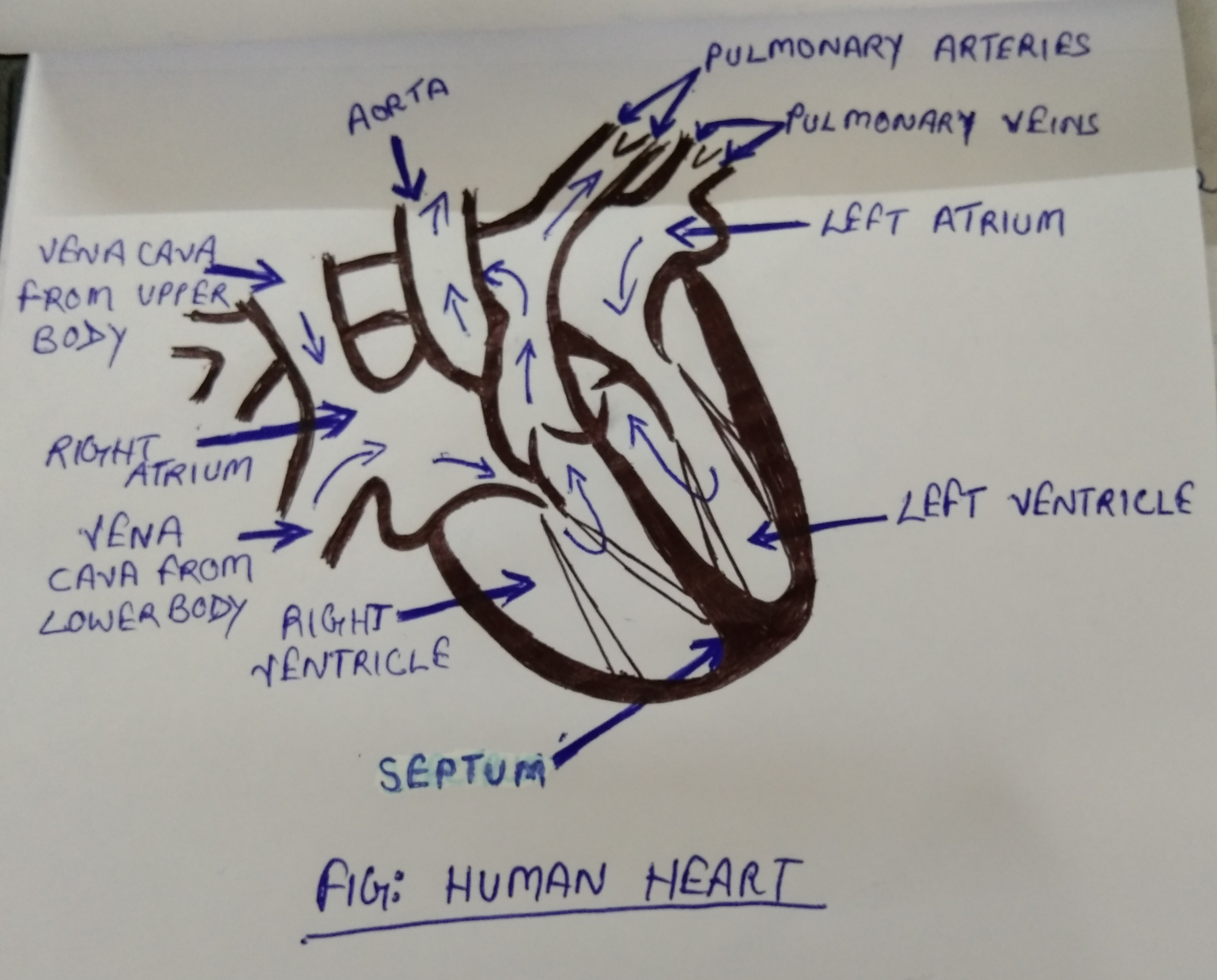 Easy Steps To Draw Human Heart Class 10 Ncert Write Down